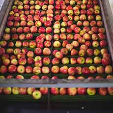 US (NY): Import programs key to premium apple market